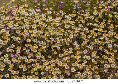 field chamomile herbs