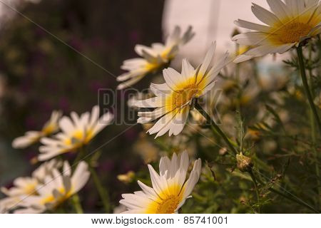 Medicinal chamomile flowers