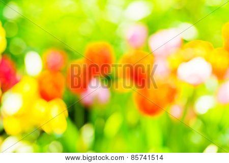 Blur Tulips In Garden.