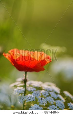 Beautiful Poppy Image For Rememberence Day