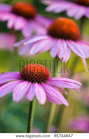 Coneflower Rubinstern Echinacea Purpurea Summer Flower
