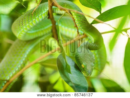Green Snake In Tropical Forests, Thailand.
