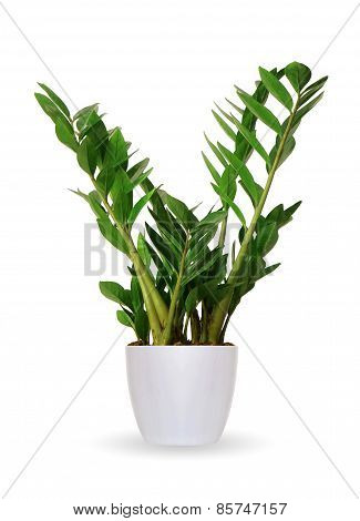 Houseplant - Zamioculcas A Potted Plant Isolated Over White