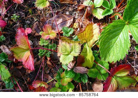 Strawberry Plants in Autumn