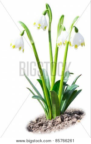 Beautiful Leucojum Snowdrops Spring Flowers On Soil Ground Isolated