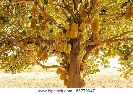 A jackfruit tree with many hanging fruits during hot summer season