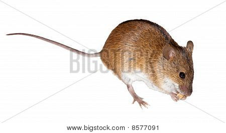Striped Field Mouse, Apodemus Agrarius