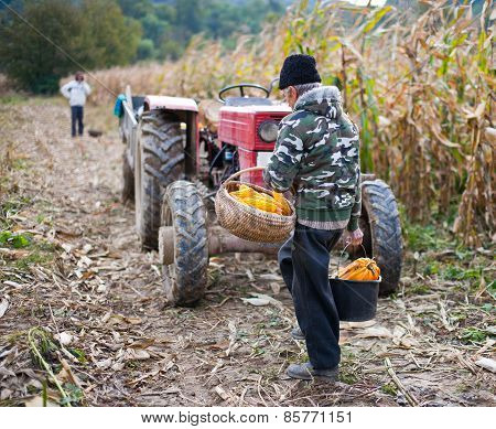 Old Man Harvesting Corn