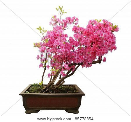 Red Azalea Bonsai Isolated On White Background