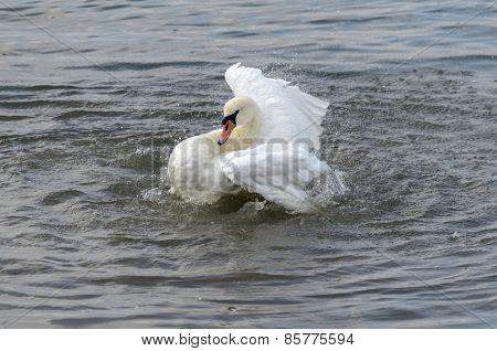 Swan splashing