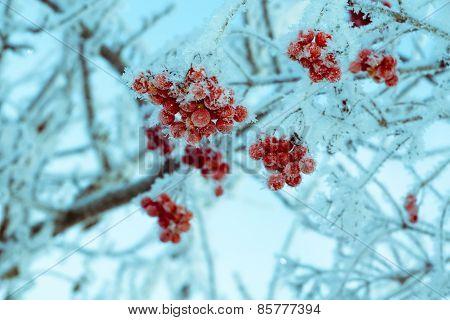 Retro Frozen Rowan