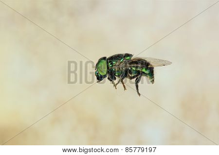 Domestic Fly