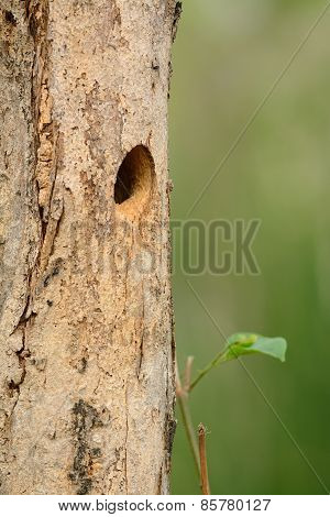 Hole Nest Of Spot-breasted Woodpecker