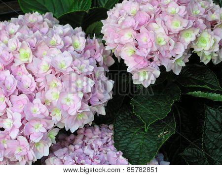 LILAC HYDRANGEA FLOWERS