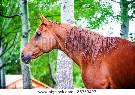 Powerful Beautiful Horse Standing In The Forest