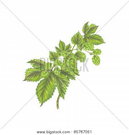 Branch of hops