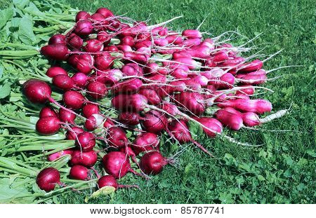Many Fresh Radishes With Leaves