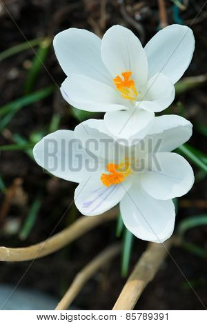 tow white crocus flowers at spring time with orange blossoms