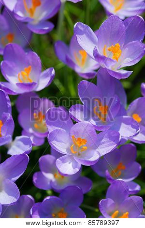 top view to several purple crocus flowers at spring