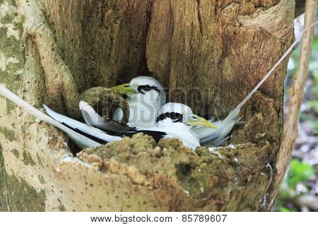Pair of White-tailed tropicbird sitting in the nest.