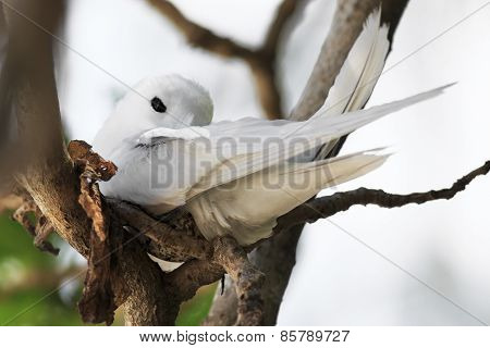 White tern incubates the egg on a tree branch.