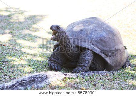 Aldabra giant tortoise yawns