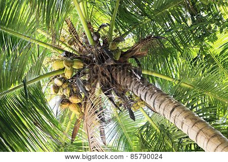 Coconut tree with fruit.