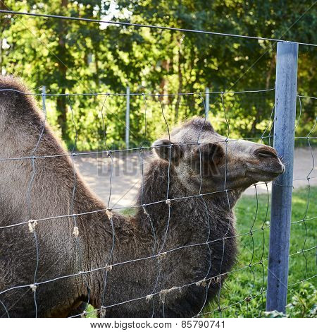 Bactrian camel behind the wire fence