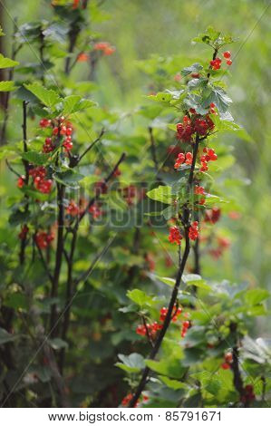 Red Currants In The Garden