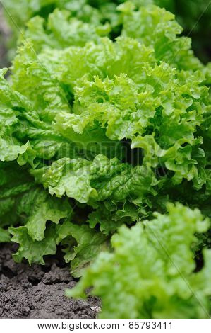 Fresh Organic Leaves Of Lettuce Salad In The Garden