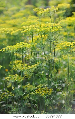 Fresh Spice And Herbs In The Garden. Field Of Dill