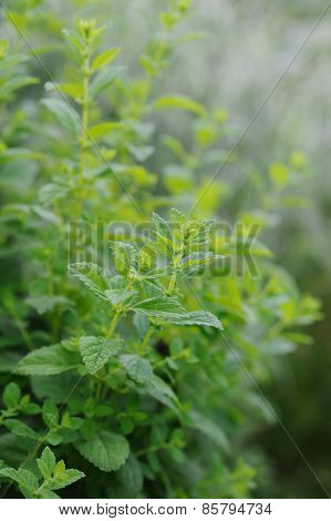 Kitchen Mint  In Vegetable Garden