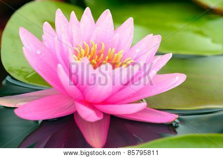 Close-up Of Pink Water Lily Flower