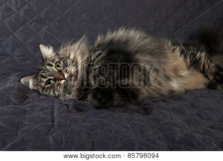 Fluffy Siberian Tabby Cat Lying On Quilt