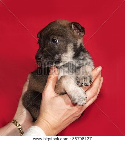 Brown And White Puppy Sitting On Hands On Red