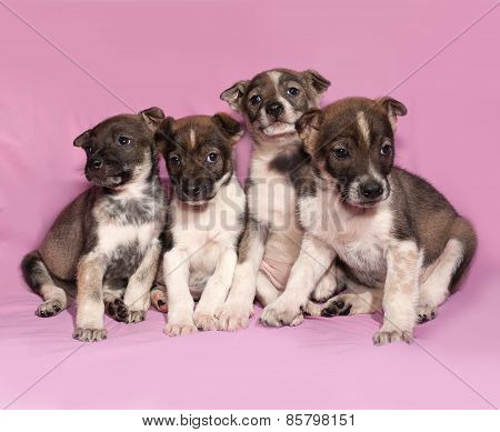 Four Brown And White Puppy Sitting On Pink