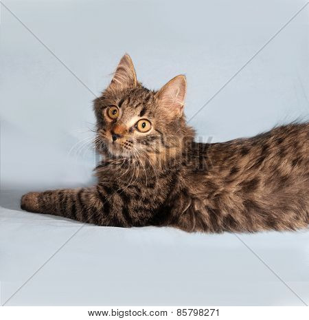 Fluffy Tabby Siberian Kitten Lying On Blue