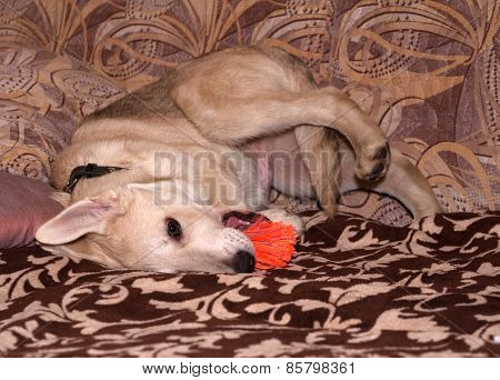 Red Puppy Chewing Orange Toy On Sofa