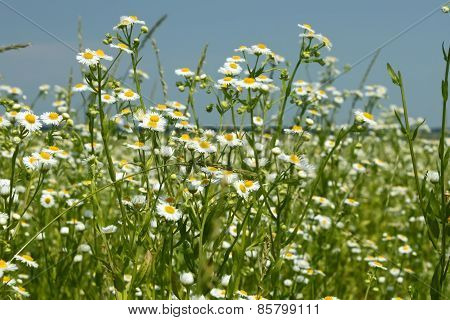 Flowering Fleabane Plants On Meadow