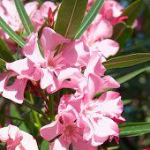 picture of oleander  - Pink flower - JPG