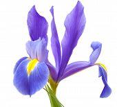 pic of purple iris  - dark purple iris flower isolated on white background - JPG
