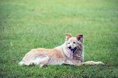 pic of cross-breeding  - cross breed golden retriever labrador lying on the grass - JPG