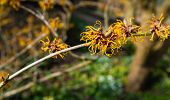 foto of orange blossom  - Small orange blossoming branch of a Witch hazel or Hamamelis shrub in the early spring season - JPG