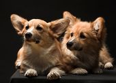 picture of corgi  - A portrait of a Welsh Pembroke Corgi. Two puppies.