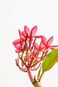 picture of plumeria flower  - Frangipani tropical flowers Plumeria flowers fresh beautiful flowers - JPG