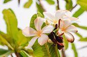 stock photo of plumeria flower  - Beautiful white flowers of Plumeria  - JPG