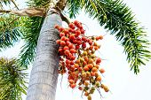 picture of palm  - Cyrtostachys Renda  - JPG