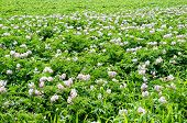 stock photo of potato-field  - potato field with weeds and Colorado beetles - JPG