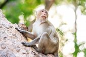picture of crab  - Monkey (Crab-eating macaque) on tree in Thailand ** Note: Soft Focus at 100%, best at smaller sizes - JPG