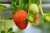 picture of gents  - Strawberry growth in the strawberr farm in Genting Malaysia - JPG